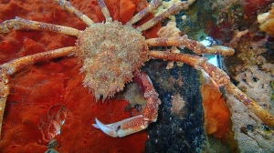 Spider crab, Blairgowrie. Photo by Elodie Camprasse