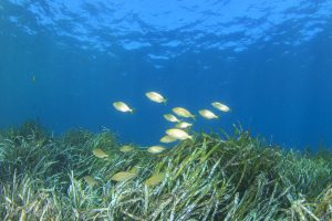 seagrass fish